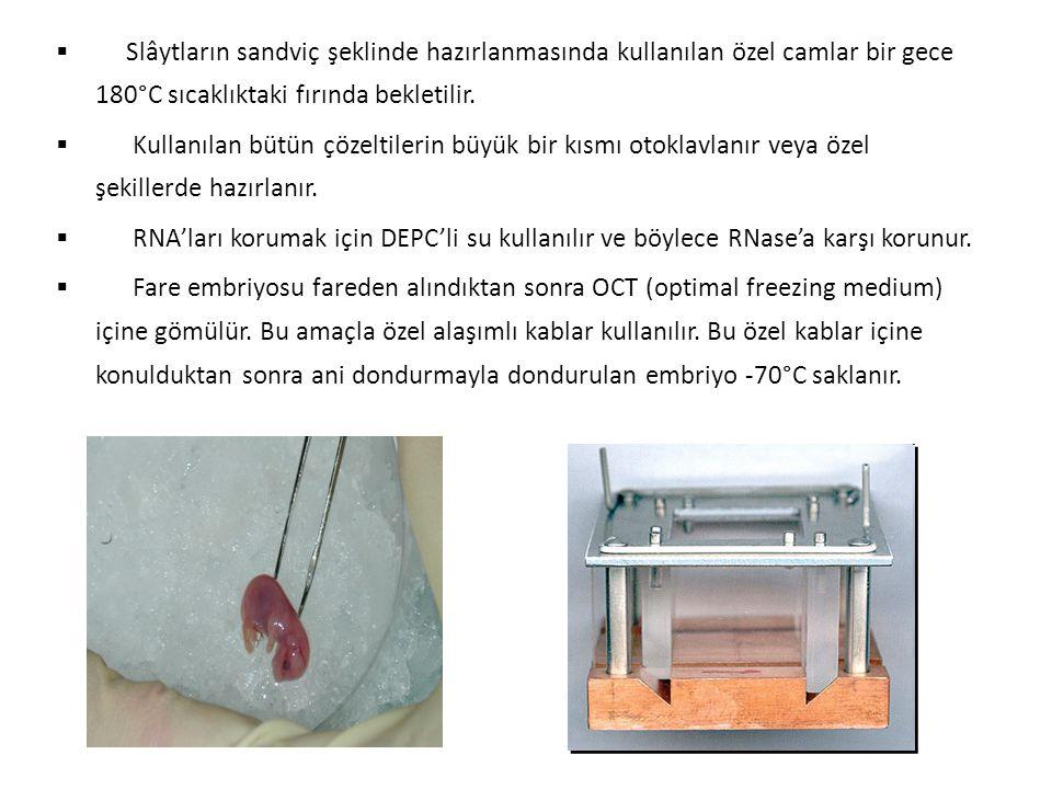  Mikroton cihazı kullanılarak lamlar üzerine fare embriyoları Cryosections cihazıyla 20 µm kesitler halinde yayılır.