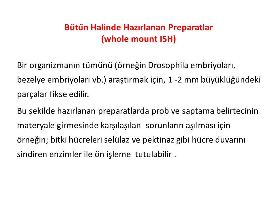 whole mount ISH protokolü zebrafish embryos Thisse, C.