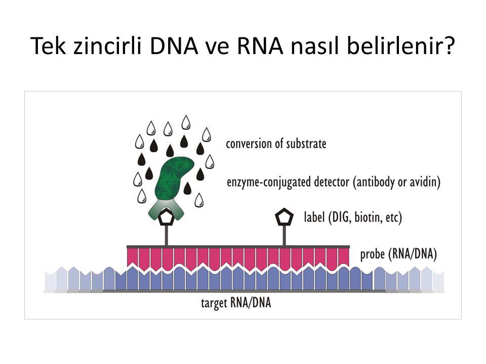 Kromozom üzerinde hibridizasyon