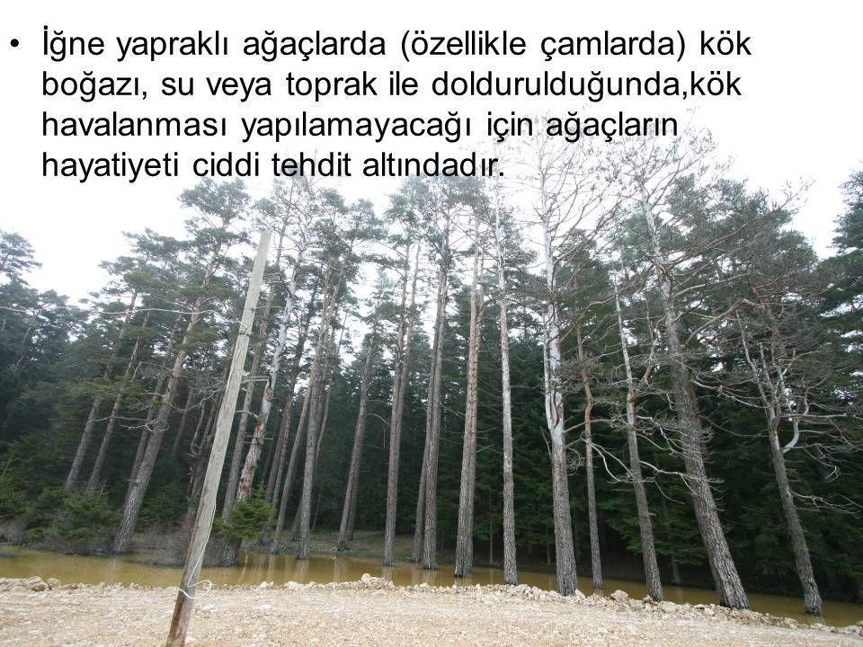 İğne yapraklı ağaçlarda (özellikle çamlarda) kök boğazı, su veya toprak ile doldurulduğunda,kök havalanması yapılamayacağı için ağaçların hayatiyeti ciddi tehdit altındadır.