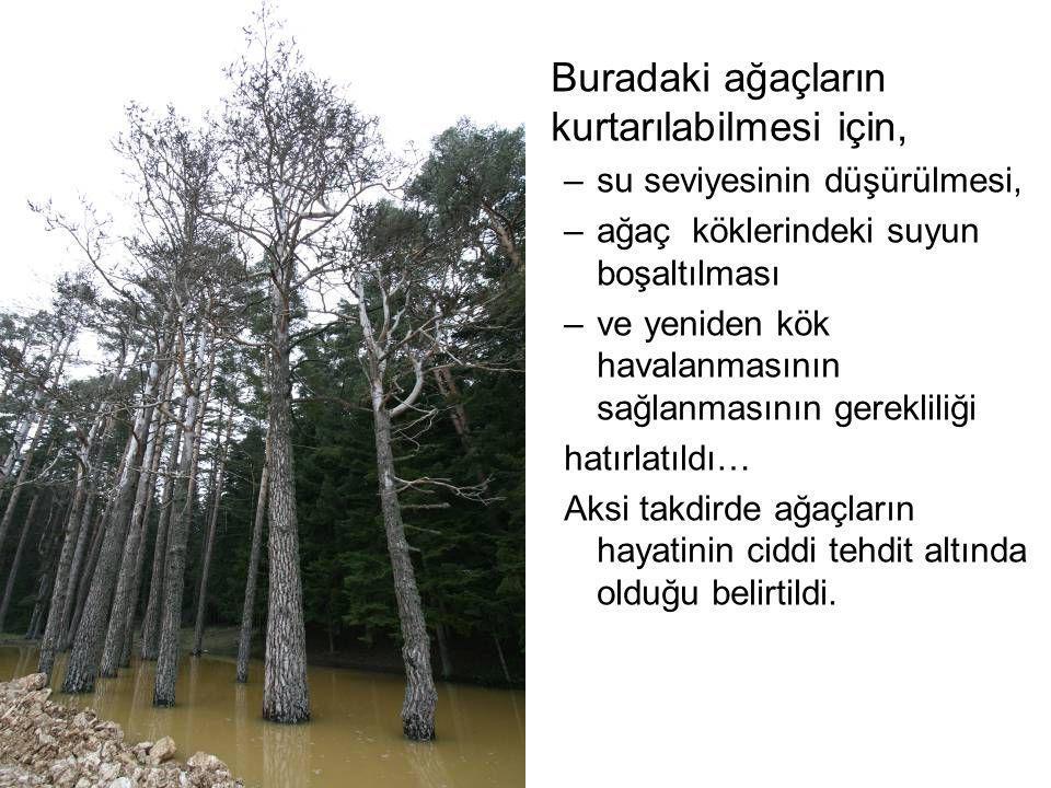 Buradaki ağaçların kurtarılabilmesi için, –su seviyesinin düşürülmesi, –ağaç köklerindeki suyun boşaltılması –ve yeniden kök havalanmasının sağlanması