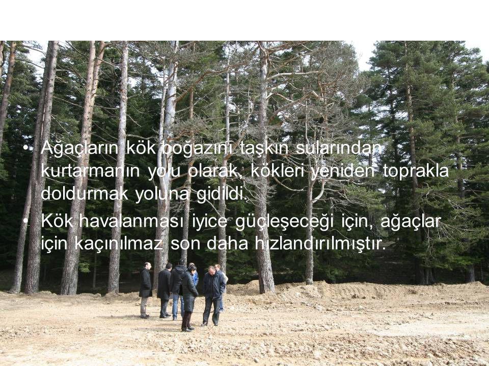 Ağaçların kök boğazını taşkın sularından kurtarmanın yolu olarak, kökleri yeniden toprakla doldurmak yoluna gidildi.