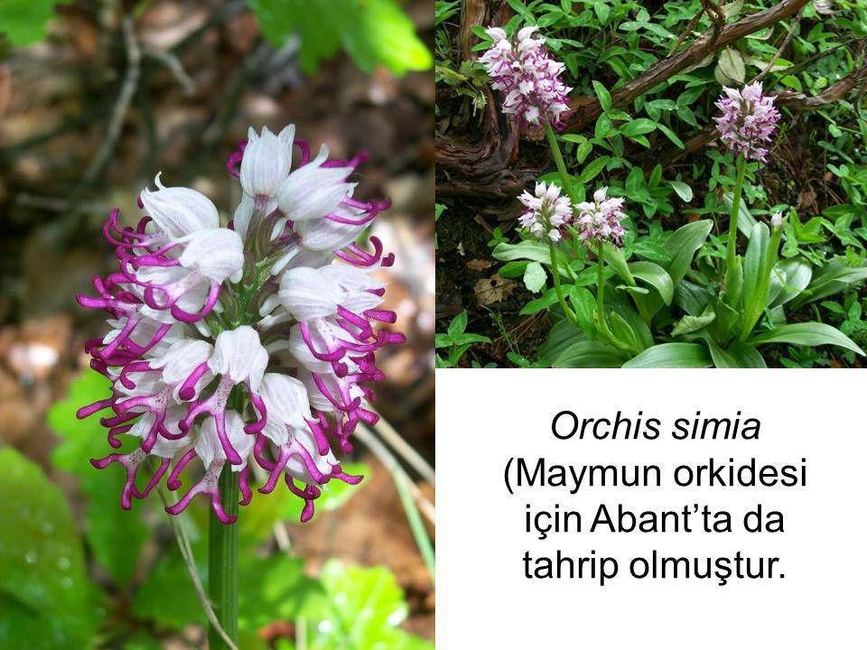 Orchis simia (Maymun orkidesi için Abant'ta da tahrip olmuştur.