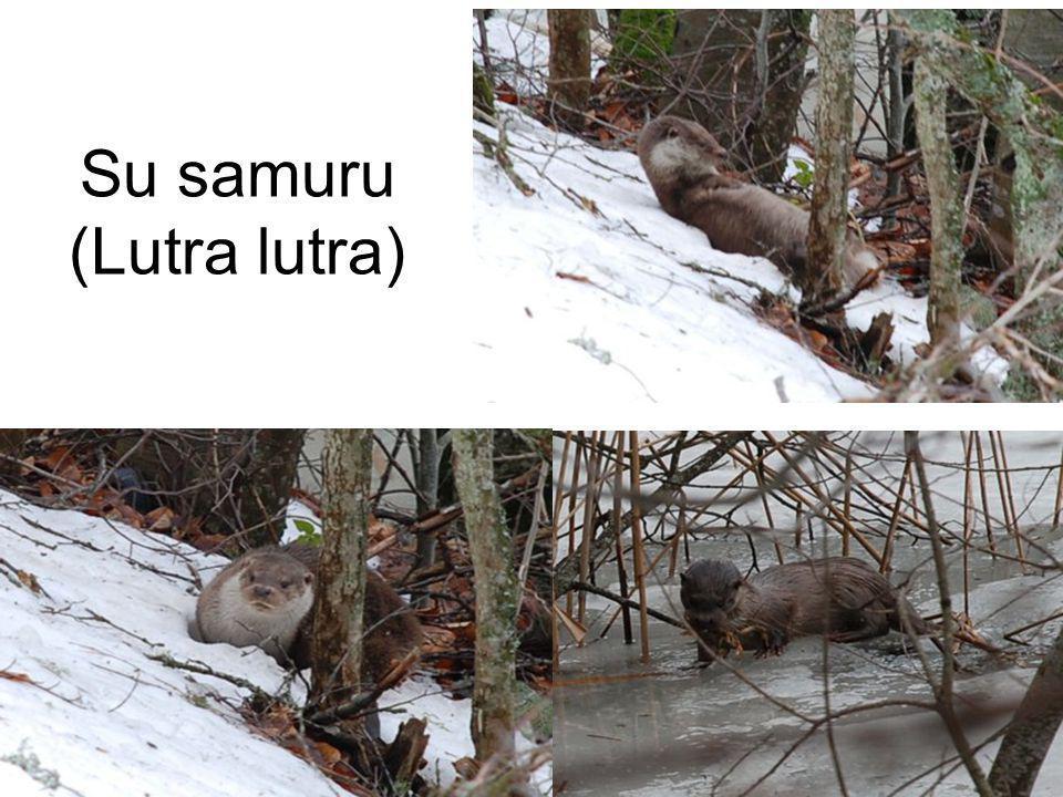 Su samuru (Lutra lutra)