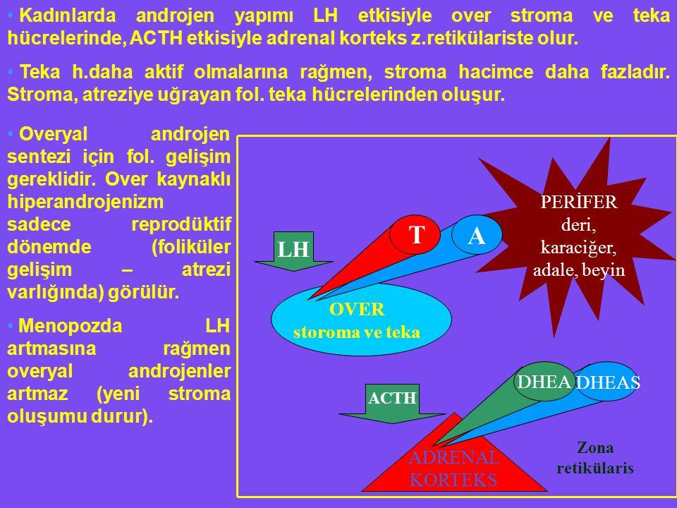 PERİFER deri, karaciğer, adale, beyin A T DHEA DHEAS ADRENAL KORTEKS OVER storoma ve teka LH ACTH Zona retikülaris Kadınlarda androjen yapımı LH etkisiyle over stroma ve teka hücrelerinde, ACTH etkisiyle adrenal korteks z.retikülariste olur.