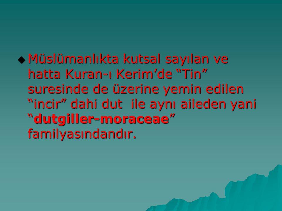 """ Müslümanlıkta kutsal sayılan ve hatta Kuran-ı Kerim'de """"Tin"""" suresinde de üzerine yemin edilen """"incir"""" dahi dut ile aynı aileden yani """"dutgiller-mor"""
