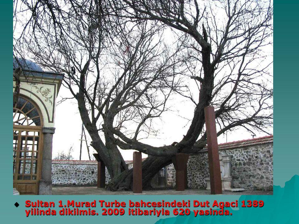  Sultan 1.Murad Turbe bahcesindeki Dut Agaci 1389 yilinda dikilmis. 2009 itibariyla 620 yasinda.