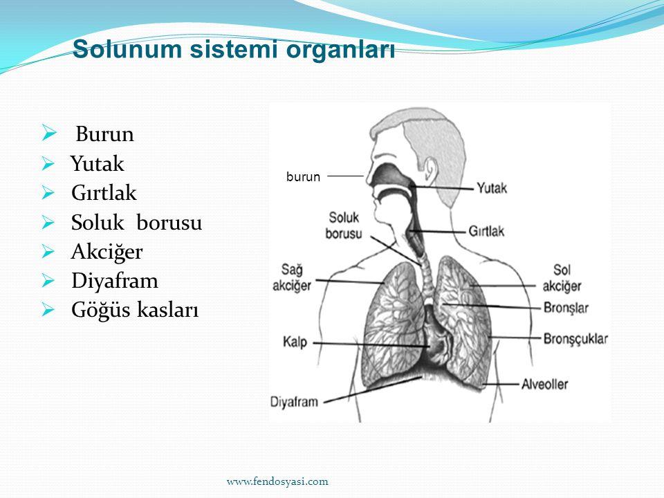 www.fendosyasi.com  Burun  Yutak  Gırtlak  Soluk borusu  Akciğer  Diyafram  Göğüs kasları burun Solunum sistemi organları