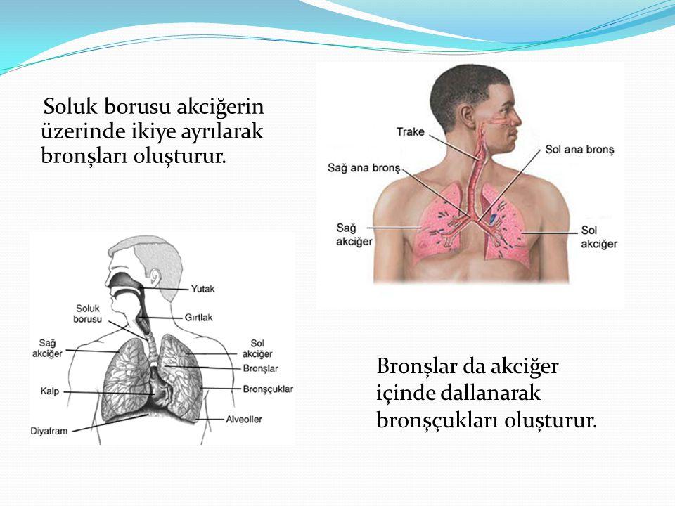 Soluk borusu akciğerin üzerinde ikiye ayrılarak bronşları oluşturur. Bronşlar da akciğer içinde dallanarak bronşçukları oluşturur.