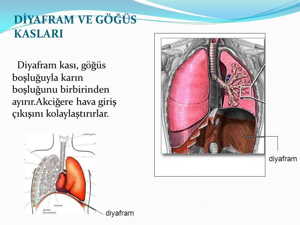 Diyafram kası, göğüs boşluğuyla karın boşluğunu birbirinden ayırır.Akciğere hava giriş çıkışını kolaylaştırırlar. DİYAFRAM VE GÖĞÜS KASLARI diyafram