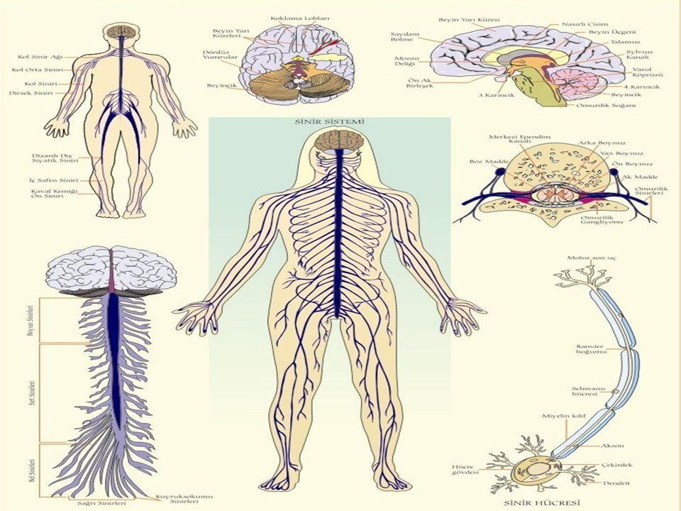 ENDOKRİN SİSTEM Endokrin sistem tüm vücuda yayılmış çeşitli bezlerden oluşmaktadır.