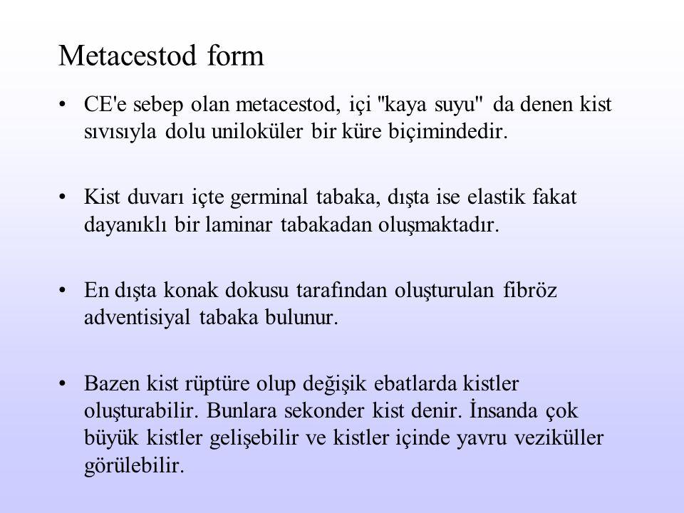Metacestod form CE'e sebep olan metacestod, içi ''kaya suyu