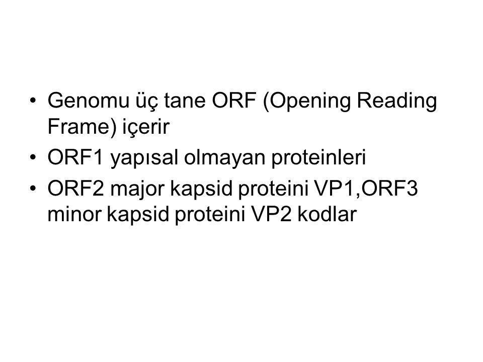 Genomu üç tane ORF (Opening Reading Frame) içerir ORF1 yapısal olmayan proteinleri ORF2 major kapsid proteini VP1,ORF3 minor kapsid proteini VP2 kodla