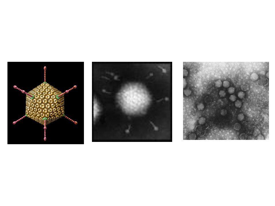 Patogenez: Enterositlerde oluşan lezyonlar villusların atrofisine ve kriptlerde kompanze hiperplaziye yol açar ve daha sonra malabsorbsiyon ve sıvı kaybı olur Klinik :Rotavirus benzeri tablo daha hafif, ancak daha uzun sürelidir