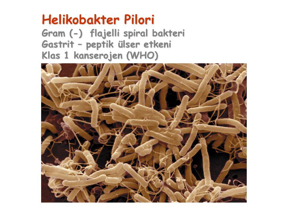 Helikobakter Pilori Gram (-) flajelli spiral bakteri Gastrit – peptik ülser etkeni Klas 1 kanserojen (WHO)