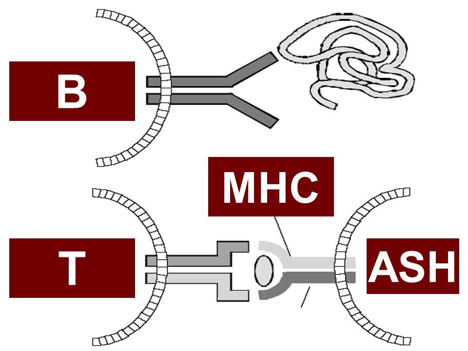 CBM signalosome CBM signalosome –CARMA1 nükleotid kompleks –CARMA1 signalosome  AgR'de başlayan sinyalin IKK'ye iletilmesinde CARMA1 yapı iskelesi görevinde  PKC'nin yaptığı CARMA1 fosforilasyonu CARMA1 oligomerizasyonuna sebep olur  CARMA1 multimerizasyonu Agr sinyalini büyütür  IKK aktive olur, downstream oligomerizasyon kaskadı oluşur –DENEYSEL çalışmalar  CARMA1-BCL10-MALT1 oligomerizasyonu IKK aktivasyon kaskadını uyarmak için yeterlidir  CBM signalosome overekspresyonu in vivo veya invitro spontan oligomerizasyona yol açar  CARMA1-BCL10-MALT1 veya TRAF6 overekspresyonu tek başına IKK aktivasyonunu indüklemek için yeterlidir.(diğer uyaranların yokluğunda)  CARMA1 ve BCL10'un CARD delesyonunda IKK aktivasyonu olmaz