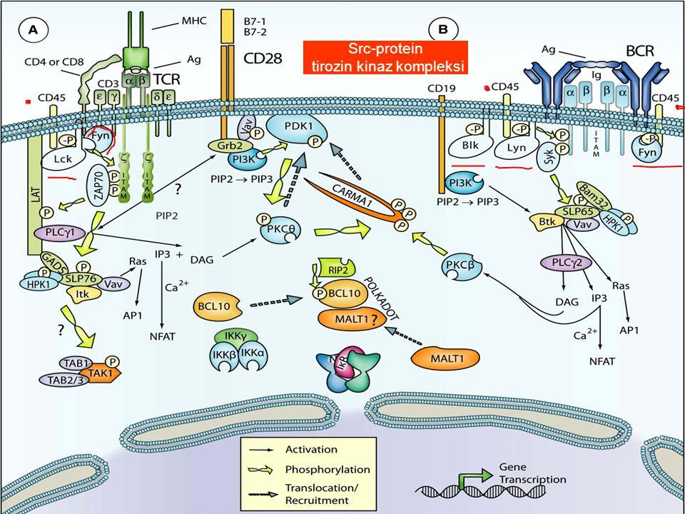Src-protein tirozin kinaz kompleksi