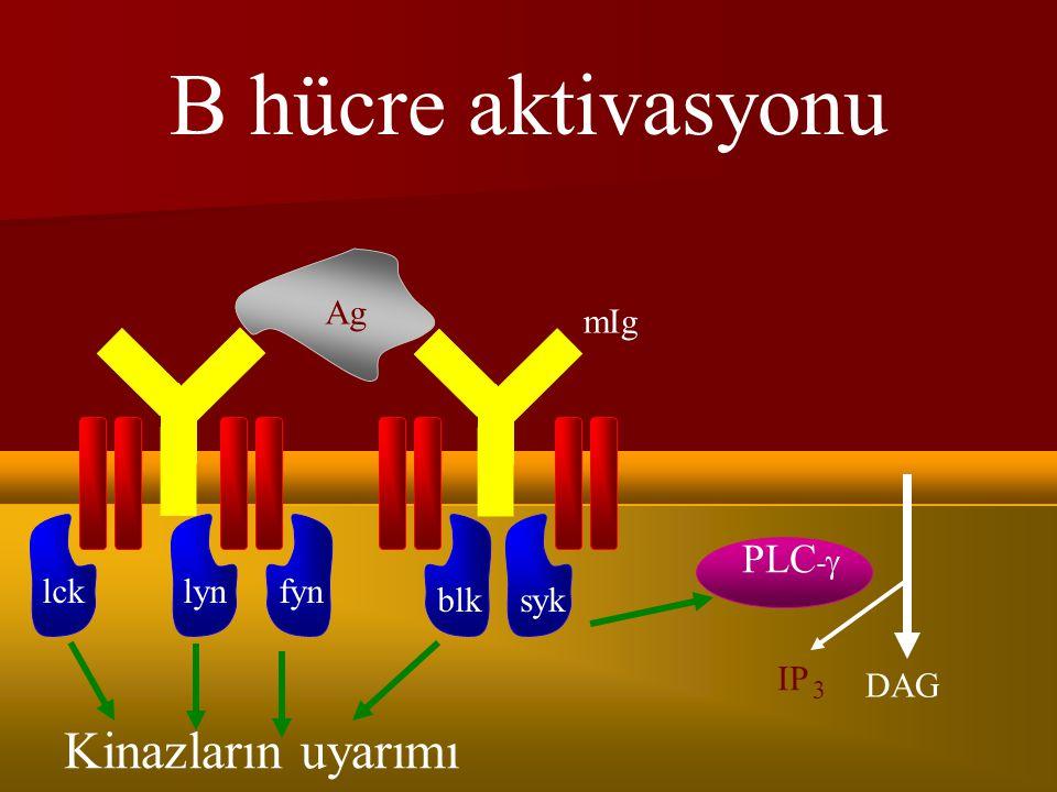 TRAF2, RIP1 poliubikitinasyonunu katalize eder TRAF2, RIP1 poliubikitinasyonunu katalize eder RIP1, TAK1 kompleksi veya FADD-caspaz 8 kompleksi ile birleşir RIP1, TAK1 kompleksi veya FADD-caspaz 8 kompleksi ile birleşir NF-kB aktive olur NF-kB aktive olur FADD-caspaz kompleksi IKKa ve IKKb ile ve CBM signalosome ile köprü oluşturabilir FADD-caspaz kompleksi IKKa ve IKKb ile ve CBM signalosome ile köprü oluşturabilir RIP1 yoluyla IKK kompleksi fosforilasyonu yapılır RIP1 yoluyla IKK kompleksi fosforilasyonu yapılır  Caspaz 8 eksik farelerde NF-kB aktivasyonu bozulmamıştır  UBC13 eksik B hücrelerde Normal NF-kB aktivasyonu var ama JNK ve p38MAPK aktivasyonu bozulmuş, başka ubikitin zincirleri kompanse ediyor ???