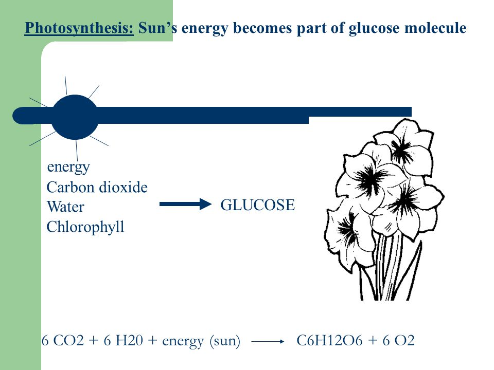 Photosynthesis: Sun's energy becomes part of glucose molecule energy Carbon dioxide Water Chlorophyll GLUCOSE 6 CO2 + 6 H20 + energy (sun)C6H12O6 + 6 O2