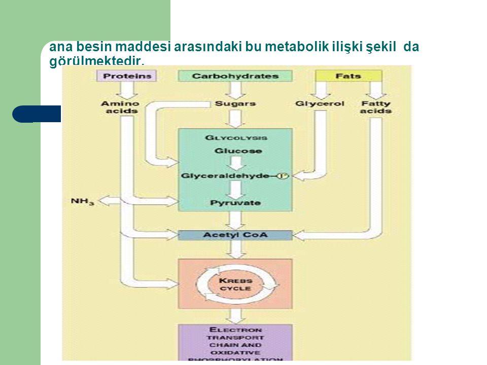ana besin maddesi arasındaki bu metabolik ilişki şekil da görülmektedir.