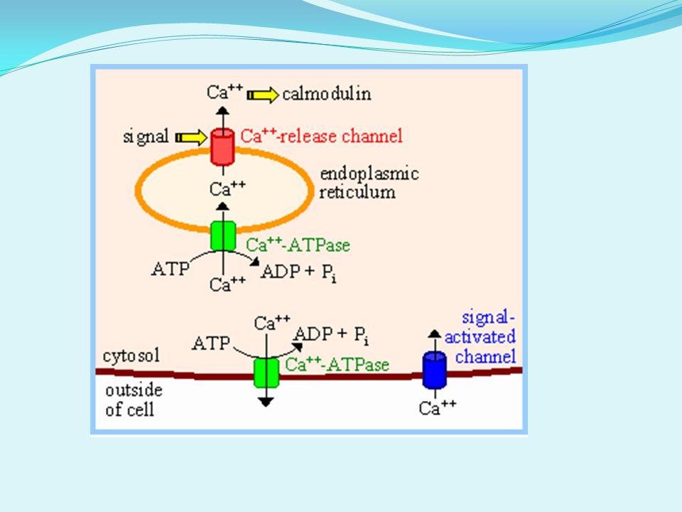 Hücre dışından sitoplazmaya Ca 2+ girişini sağlayan kanal tipleri şunlardır:  Voltaj Bağımlı Ca 2+ kanalları  Ligand Bağımlı Ca 2+ kanalları  Depo Boşalması ile Aktive olan Ca 2+ Kanalları