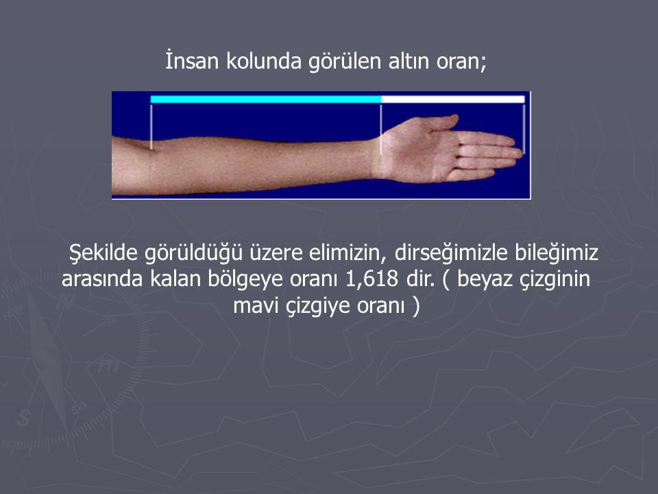 İnsan kolunda görülen altın oran; Şekilde görüldüğü üzere elimizin, dirseğimizle bileğimiz arasında kalan bölgeye oranı 1,618 dir. ( beyaz çizginin ma