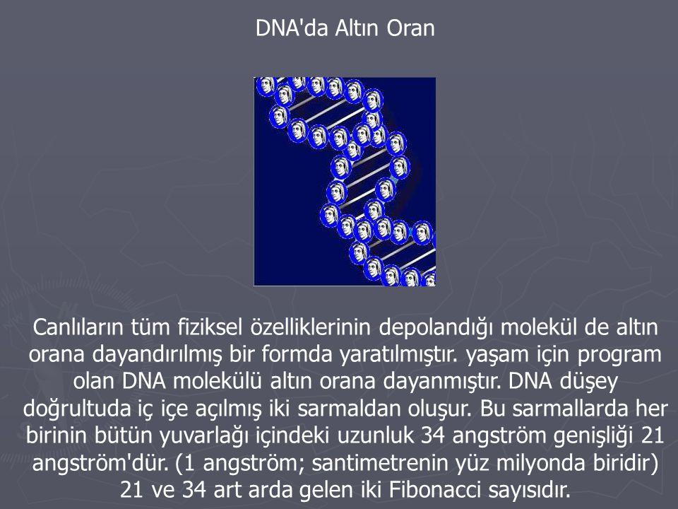 DNA'da Altın Oran Canlıların tüm fiziksel özelliklerinin depolandığı molekül de altın orana dayandırılmış bir formda yaratılmıştır. yaşam için program