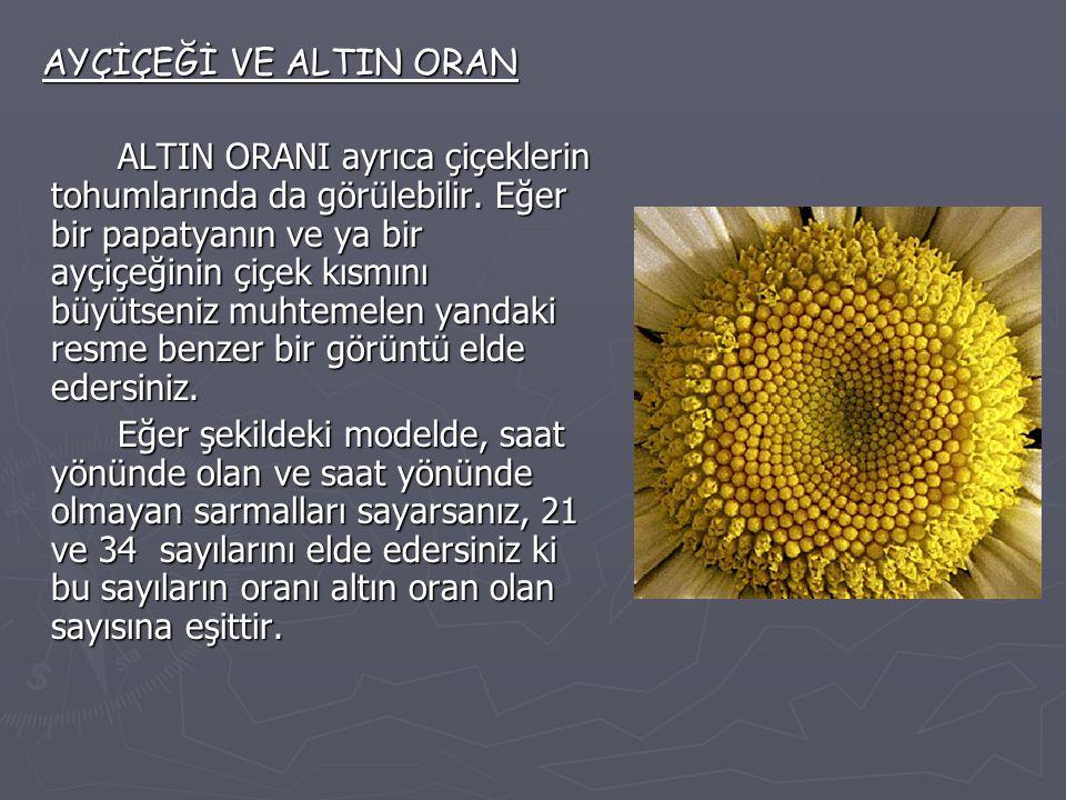 AYÇİÇEĞİ VE ALTIN ORAN AYÇİÇEĞİ VE ALTIN ORAN ALTIN ORANI ayrıca çiçeklerin tohumlarında da görülebilir. Eğer bir papatyanın ve ya bir ayçiçeğinin çiç