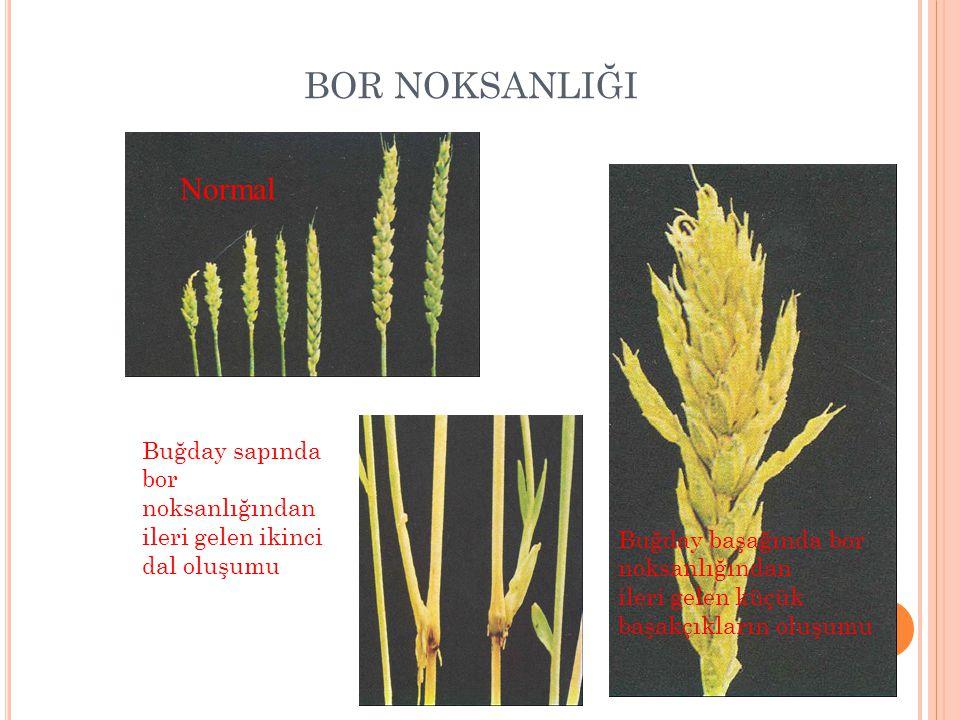 BOR NOKSANLIĞI Buğday sapında bor noksanlığından ileri gelen ikinci dal oluşumu Buğday başağında bor noksanlığından ileri gelen küçük başakçıkların oluşumu Normal
