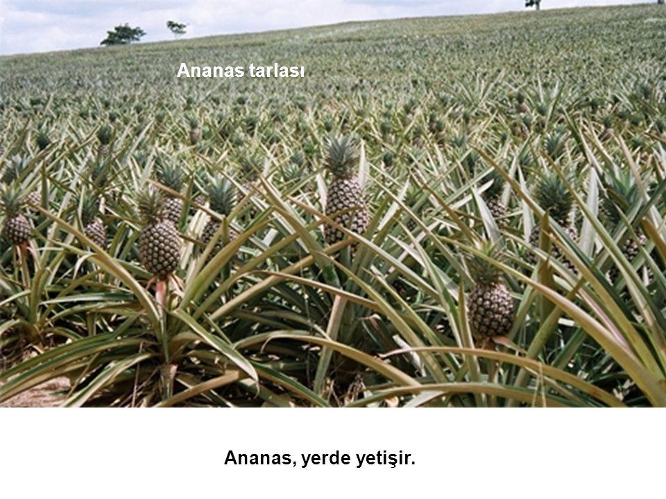 Ananas, yerde yetişir. Ananas tarlası