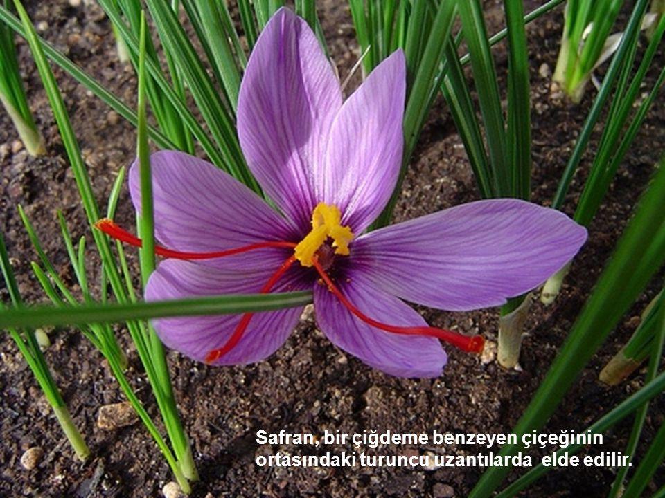 Safran, bir çiğdeme benzeyen çiçeğinin ortasındaki turuncu uzantılarda elde edilir.