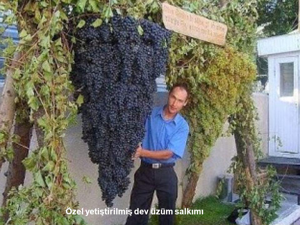 Özel yetiştirilmiş dev üzüm salkımı