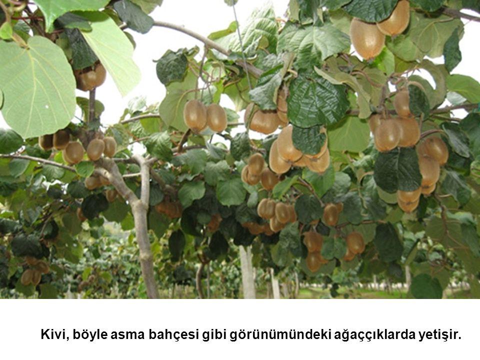 Kivi, böyle asma bahçesi gibi görünümündeki ağaççıklarda yetişir.