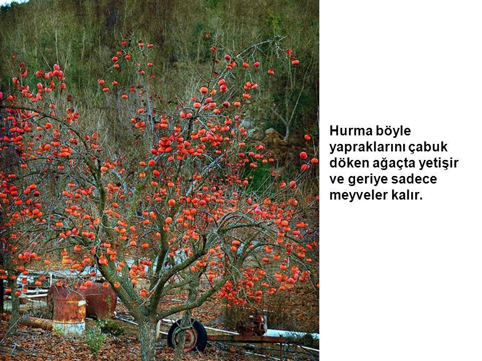 Hurma böyle yapraklarını çabuk döken ağaçta yetişir ve geriye sadece meyveler kalır.