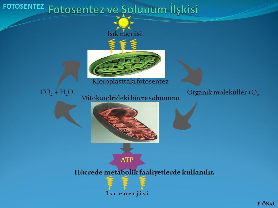 Isı enerjisi FOTOSENTEZ Işık enerjisi Kloroplasttaki fotosentez Mitokondrideki hücre solunumu CO 2 + H 2 O Organik moleküller +O 2 ATP Hücrede metabol