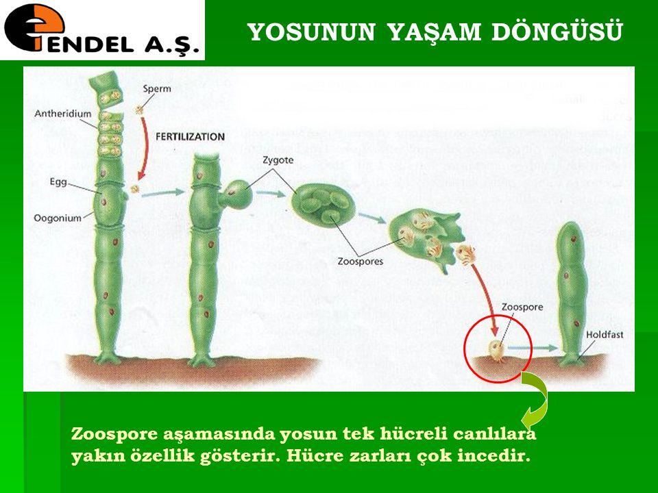 YOSUNUN YAŞAM DÖNGÜSÜ Zoospore aşamasında yosun tek hücreli canlılara yakın özellik gösterir. Hücre zarları çok incedir.