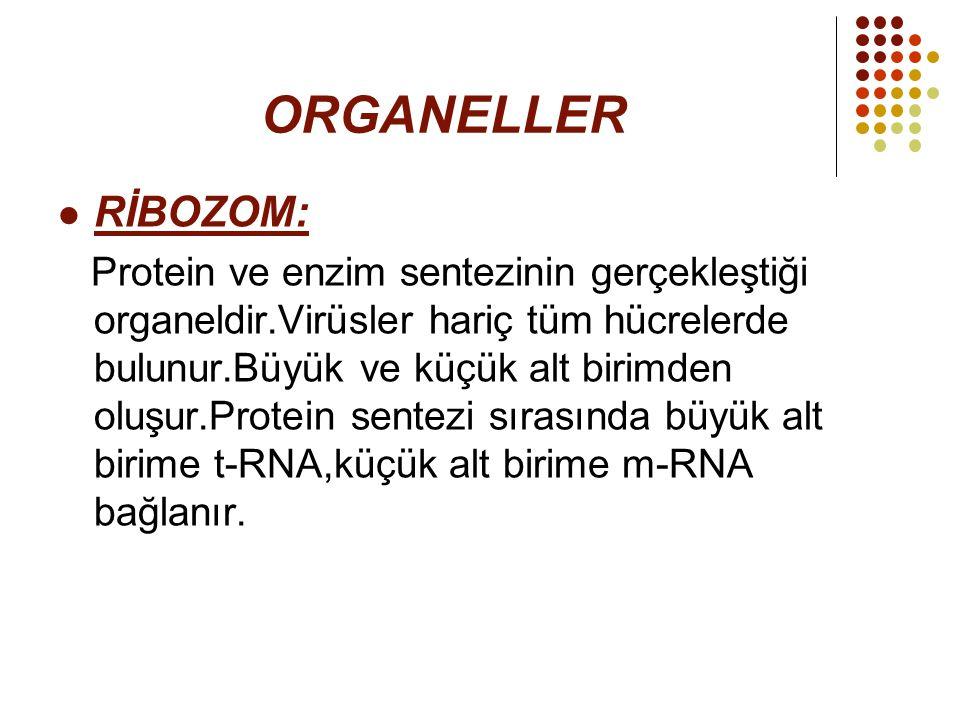 ORGANELLER RİBOZOM: Protein ve enzim sentezinin gerçekleştiği organeldir.Virüsler hariç tüm hücrelerde bulunur.Büyük ve küçük alt birimden oluşur.Prot