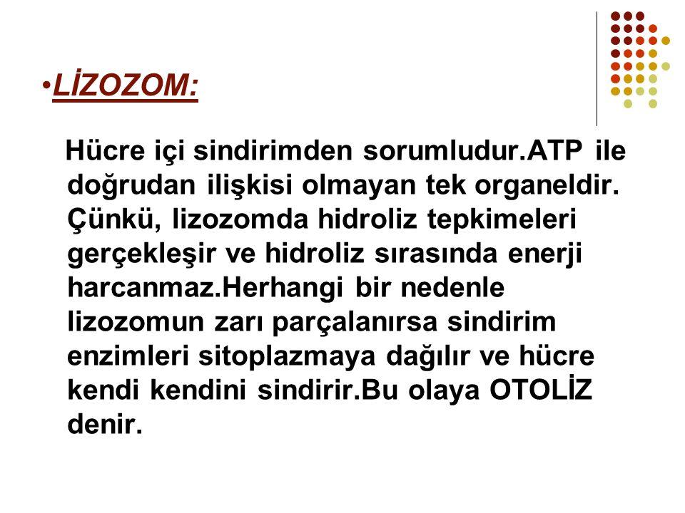 LİZOZOM: Hücre içi sindirimden sorumludur.ATP ile doğrudan ilişkisi olmayan tek organeldir. Çünkü, lizozomda hidroliz tepkimeleri gerçekleşir ve hidro