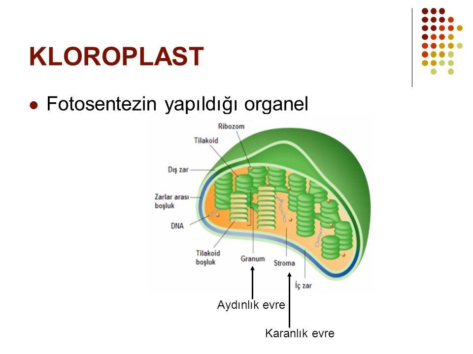 KLOROPLAST Fotosentezin yapıldığı organel Aydınlık evre Karanlık evre