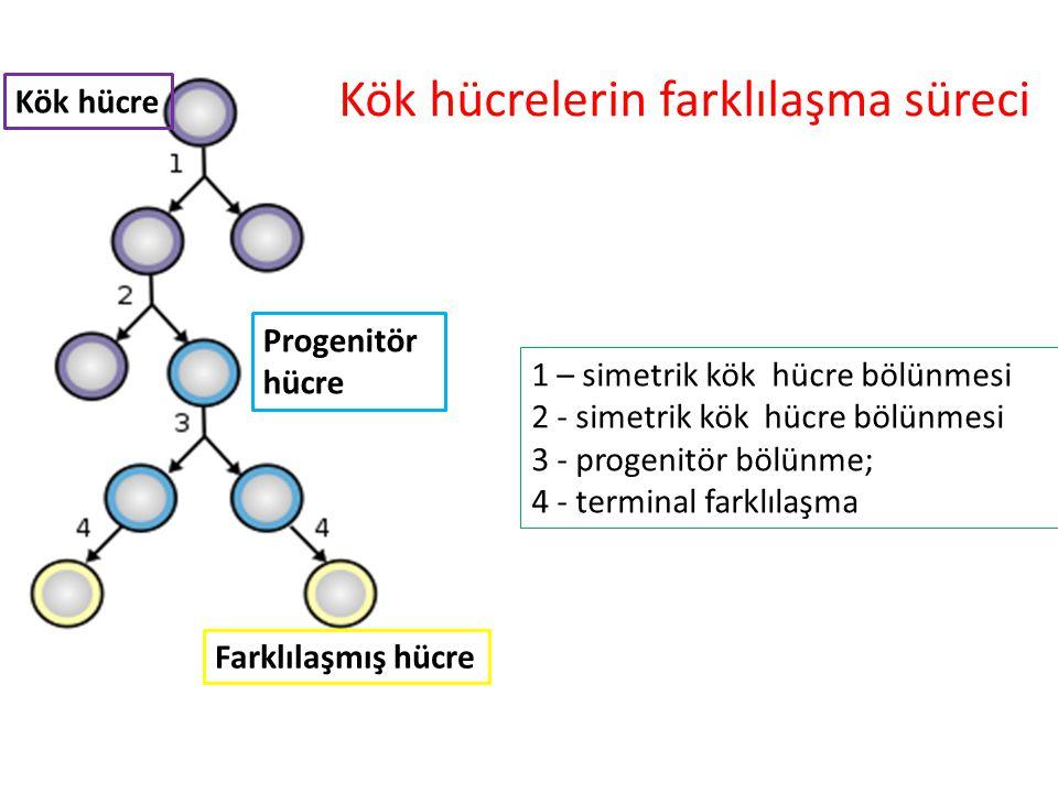 Progenitör hücre Kök hücre Farklılaşmış hücreler