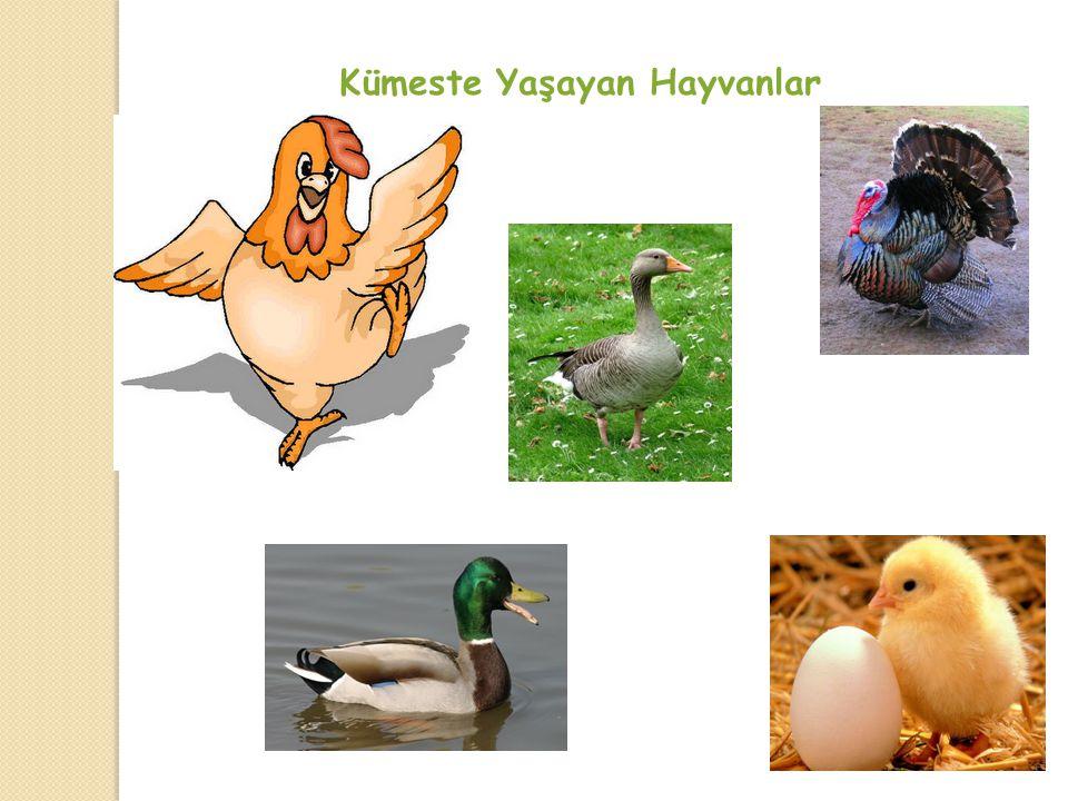 13 Ağılda Yaşayan Hayvanlar