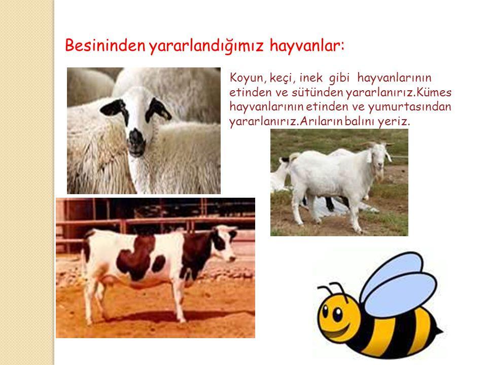 Hayvanların Yararları Gücünden Yararlandığımız Hayvanlar: At,öküz ve eşeğin gücünden yararlanırız. Onlara eşyalarımızı taşıtırız,Tarlamızı sürdürürüz.