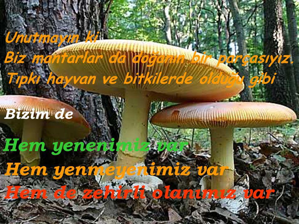 Cantharellus cibarius (Yumurta / Horoz mantarı)