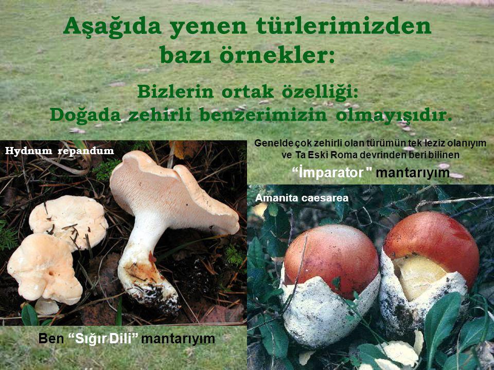 Aşağıda yenen türlerimizden bazı örnekler: Bizlerin ortak özelliği: Doğada zehirli benzerimizin olmayışıdır.
