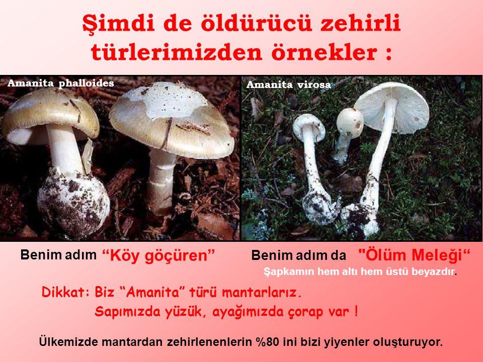 Şimdi de öldürücü zehirli türlerimizden örnekler : Amanita virosa Şapkamın hem altı hem üstü beyazdır.