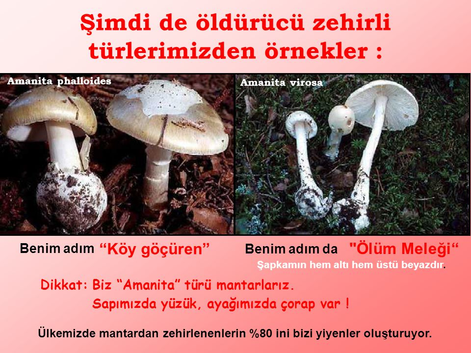 Pleurotus ostreatus (İstiridye mantarı)