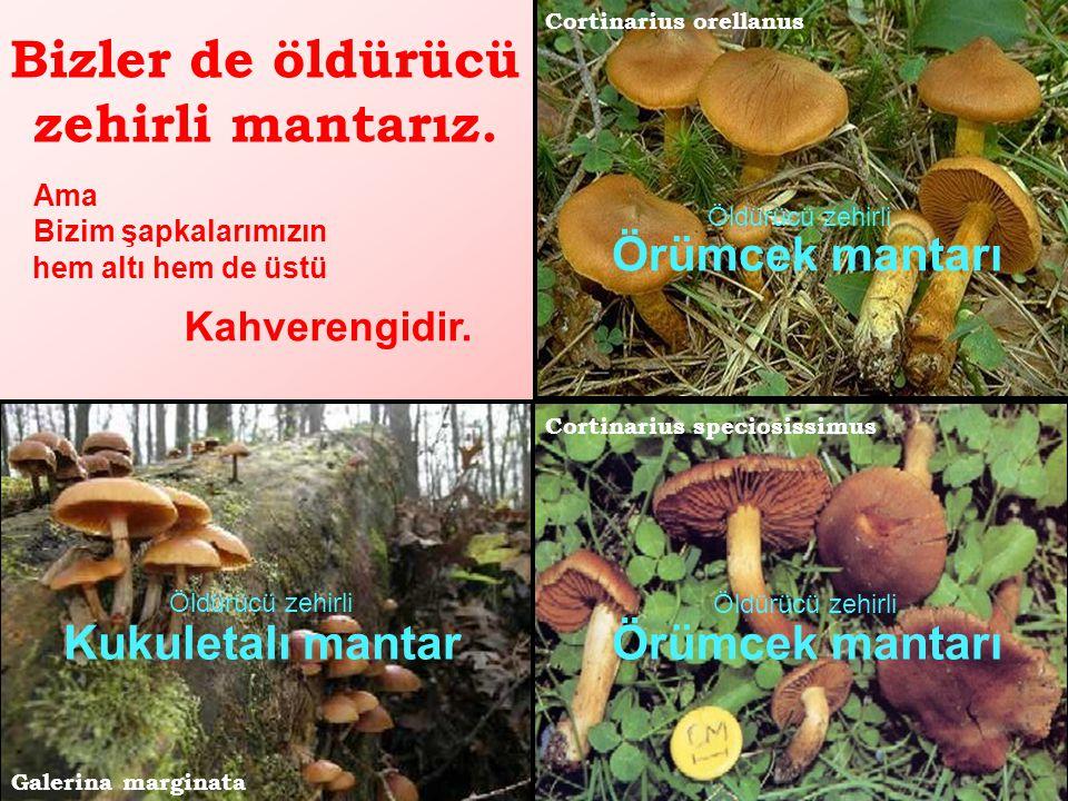 Şimdi de öldürücü zehirli türlerimizden örnekler : Amanita virosa Şapkamın hem altı hem üstü beyazdır. Benim adım Benim adım da Ülkemizde mantardan ze
