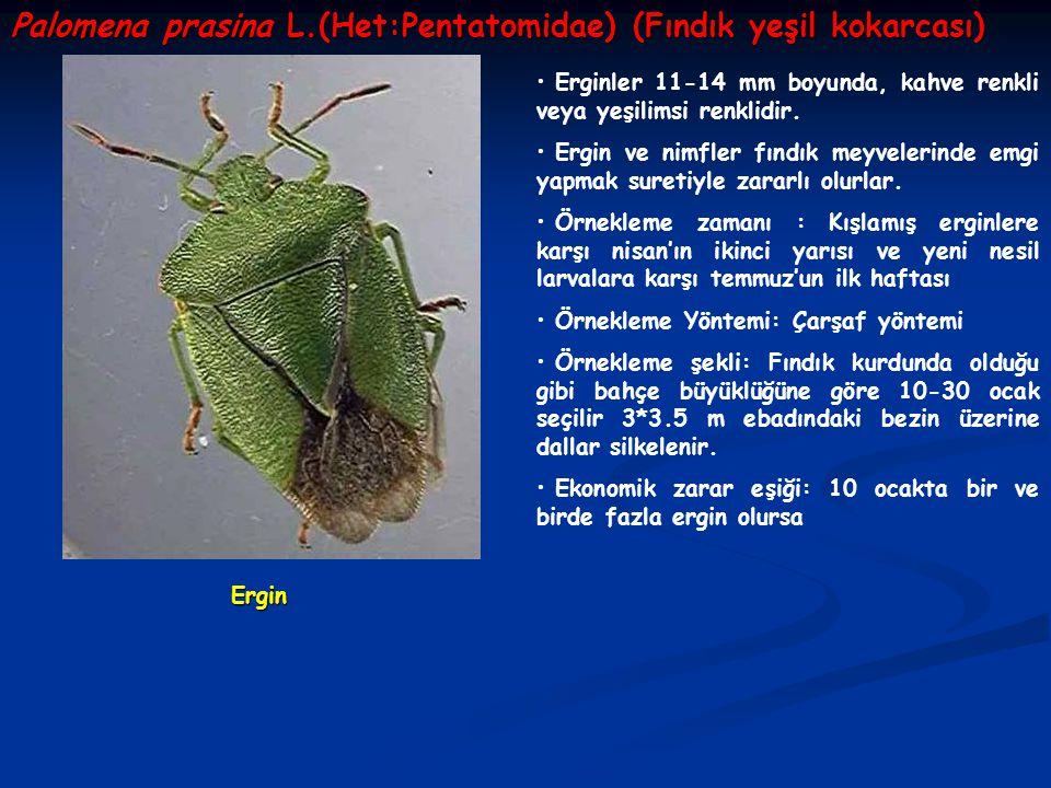 Palomena prasina L.(Het:Pentatomidae) (Fındık yeşil kokarcası) Ergin Erginler 11-14 mm boyunda, kahve renkli veya yeşilimsi renklidir. Ergin ve nimfle
