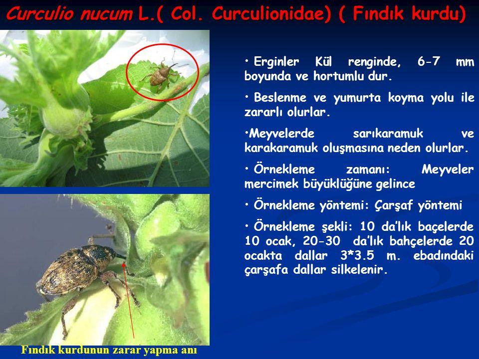 Curculio nucum L.( Col. Curculionidae) ( Fındık kurdu) Erginler Kül renginde, 6-7 mm boyunda ve hortumlu dur. Beslenme ve yumurta koyma yolu ile zarar