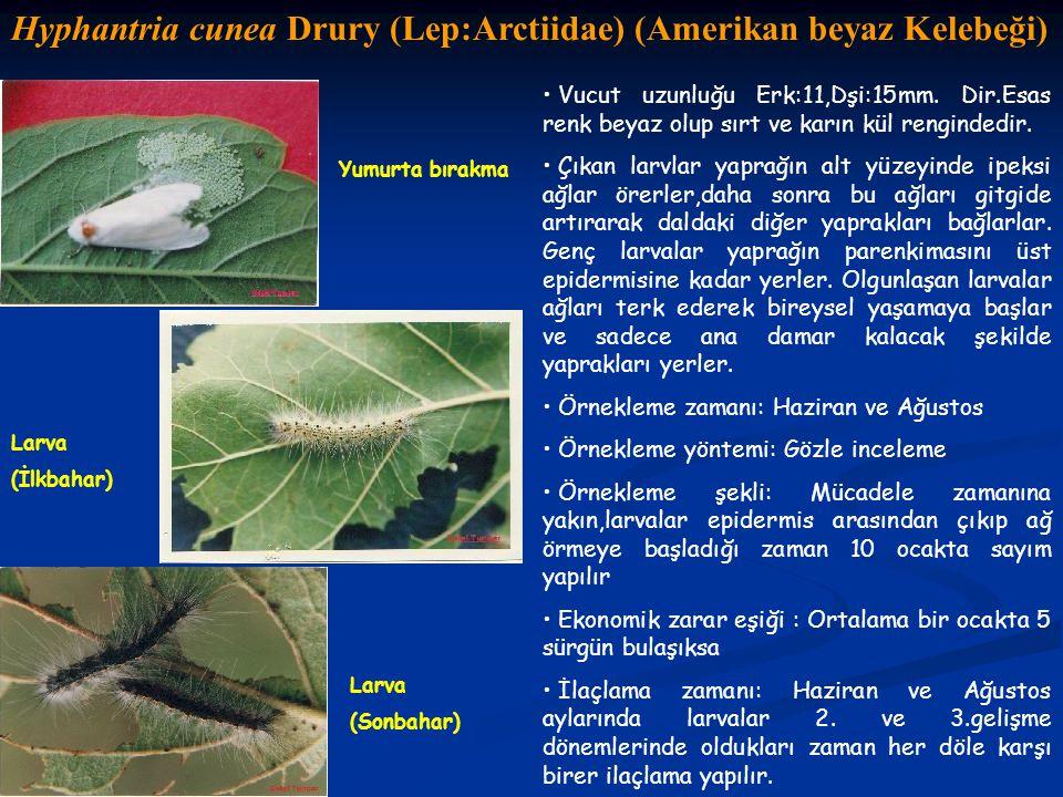 Hyphantria cunea Drury (Lep:Arctiidae) (Amerikan beyaz Kelebeği) Yumurta bırakma Larva (Sonbahar) Vucut uzunluğu Erk:11,Dşi:15mm. Dir.Esas renk beyaz